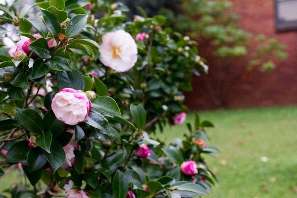 Hoa trà - Một loài hoa đẹp độc đáo