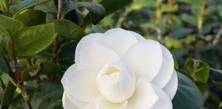Cách trồng và chăm sóc cây hoa trà cho ra nhiều hoa đẹp