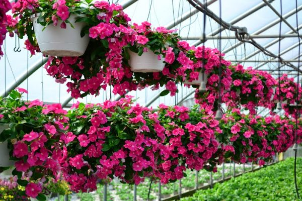 kĩ thuật trồng và chăm sóc cây hoa dừa cạn