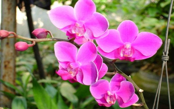 Tìm hiểu cây hoa lan hồ điệp