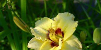 Ý nghĩa và vẻ đẹp của hoa huệ tây