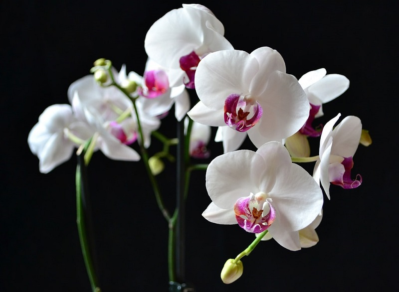 Giới thiệu về hoa lan