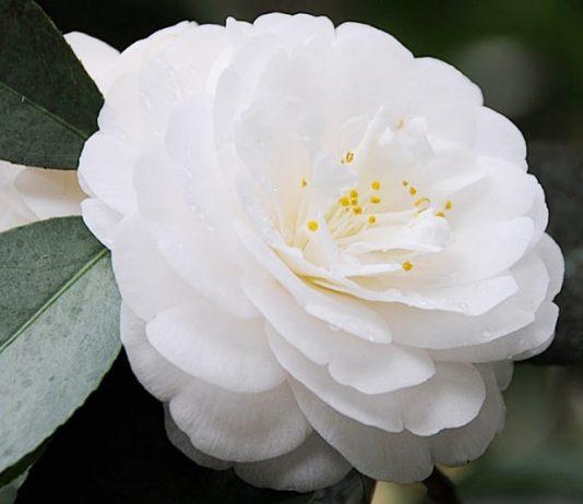 Vẻ đẹp bình dị của hoa trà