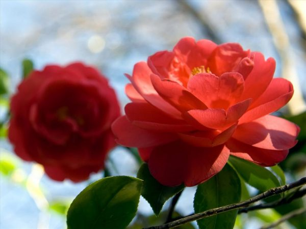 Hoa trà mang một vẻ đẹp lộng lẫy