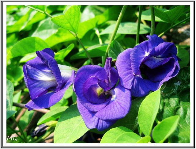 cách chăm sóc hoa đậu biếc