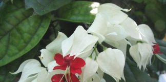 Hoa ngọc nữ còn có tên gọi khác như tố nữ, trinh nữ