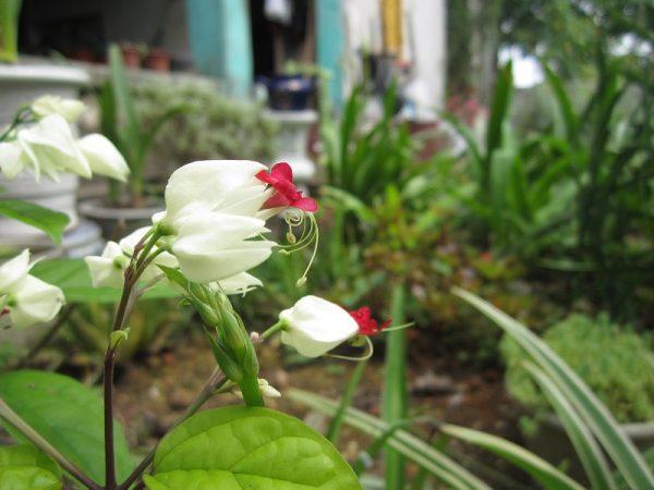 cây ngọc nữ cho hoa quanh năm