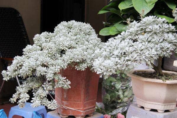 Hoa cúc mốc được trang trí trong nhà
