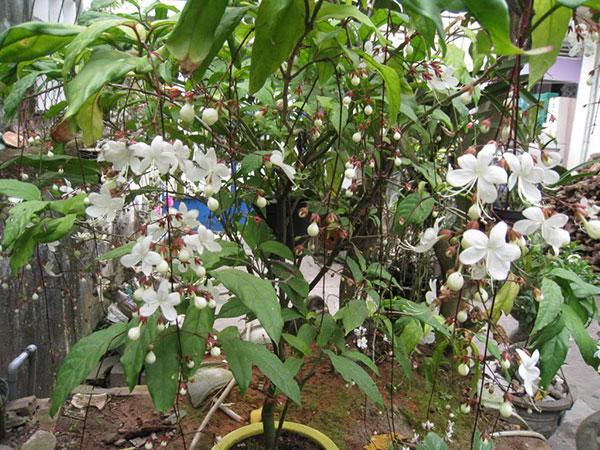 Hoa dạ minh châu không chỉ đẹp mà còn có hương thơm quyến rũ