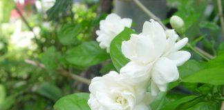 cây hoa ngọc bút