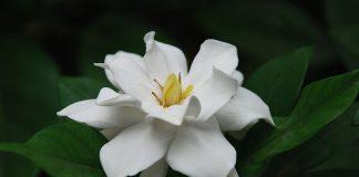 Màu trắng tinh khuyết của hoa dành dành