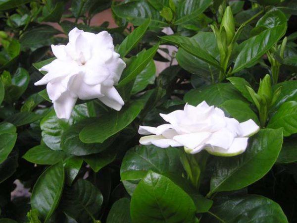 hoa dành dành không ưa nhiều ánh sáng