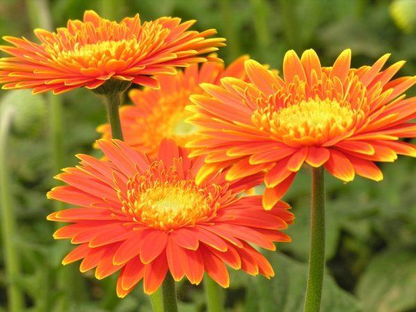 Hoa đồng tiền thích hợp trồng vào mùa xuân