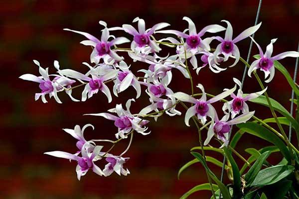 Hoa lan dendro