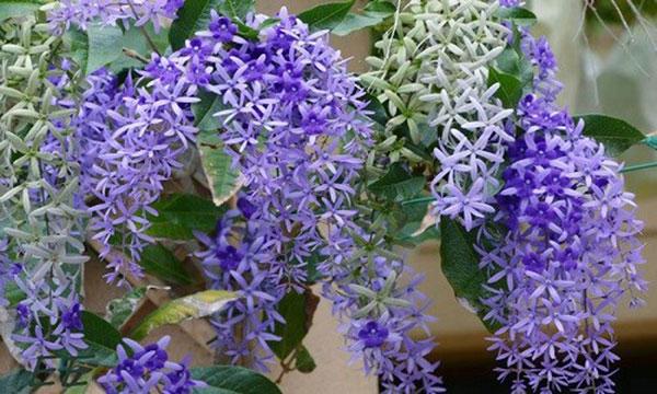 Hoa ban mai xanh