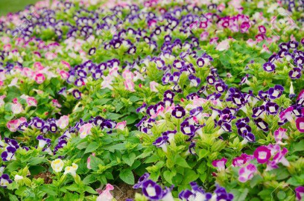 Hoa mắt nai được trồng rộng rãi