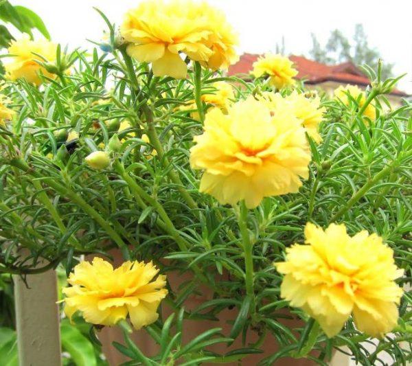 Hoa sam vàng rực rỡ