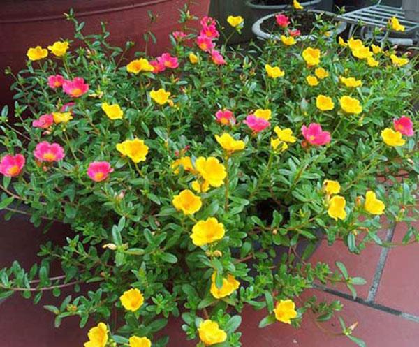 Hoa sam - Hoa đa sắc