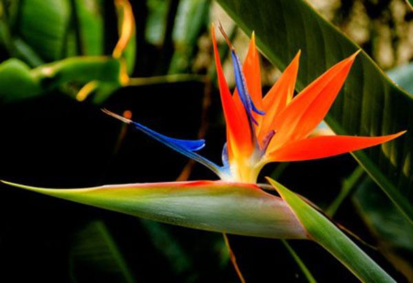 Thiên điểu - loại hoa độc đáo