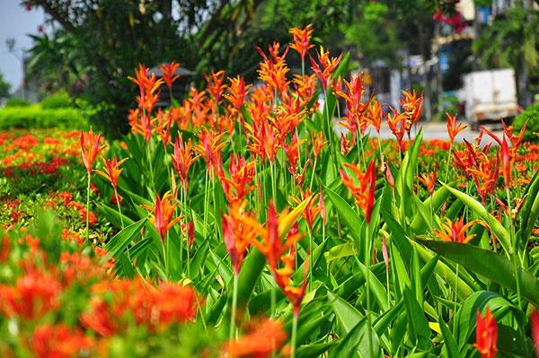 vườn hoa thiên điểu khoe sắc